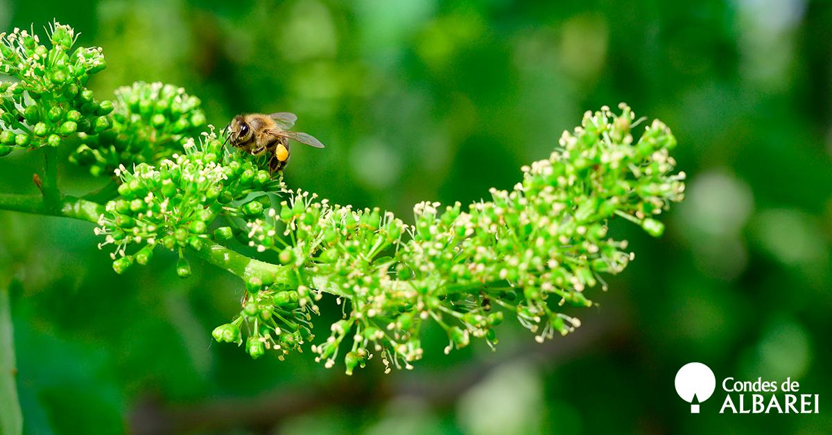 Etapa de floración y cuajado de los frutos albariño Condes de Albarei