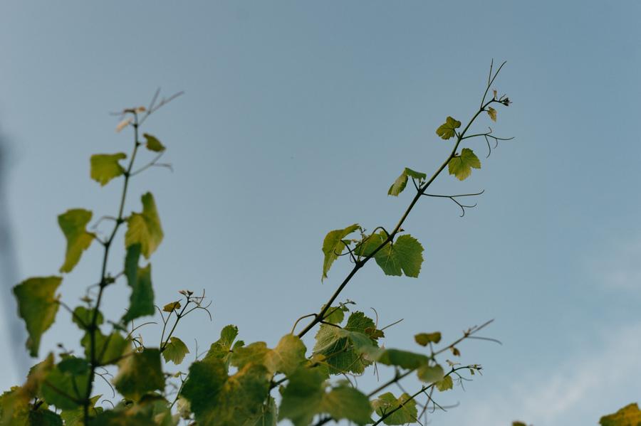 Condes de Albarei albariño sobre lías viñedos